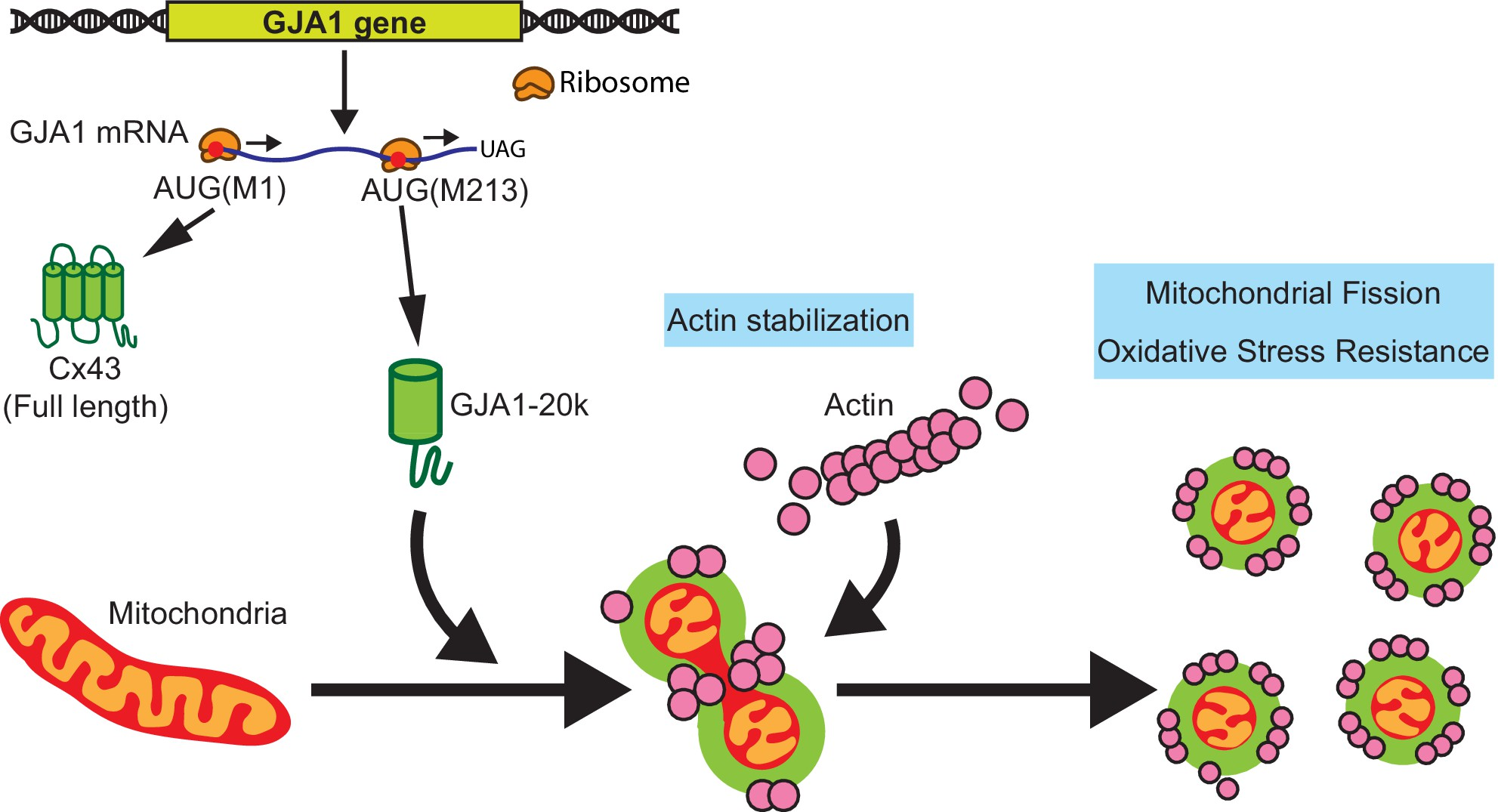 <h3>eLife publication from the Shaw Lab</h3>