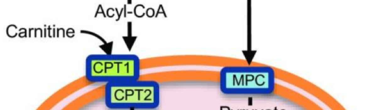 Mitochondrial metabolism can be regulated by Smyd1